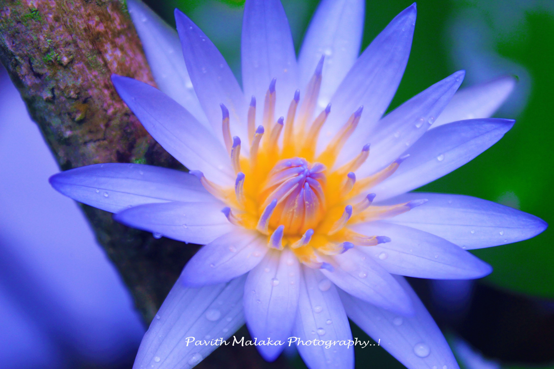 Pavithmalaka072680 Blue Lotus Flower Photos Picture