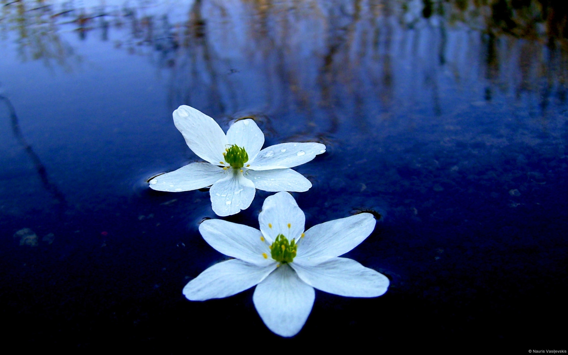 Priyanthaperera078 Two White Colour Flowers In Water Photos
